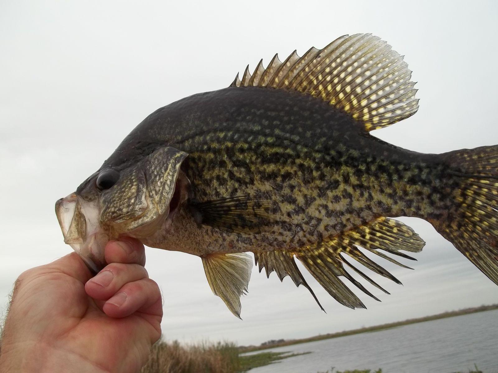 South Louisiana Crappie Feb. 12'
